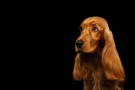 Sad Portrait of Red English Cocker Spaniel Dog looking at side on isolated black background