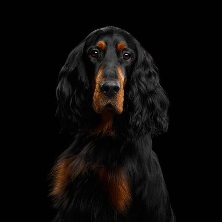 Portrait of English Setter Dog Gazing on Isolated Black Background