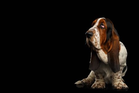 Funny Basset Hound Dog Standing and Looks Apathy on Isolated black background, Stare up Banco de Imagens