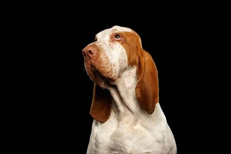 Portrait of Bracco Italiano Pointer Dog with Funny Face Looking up on Isolated Black Background