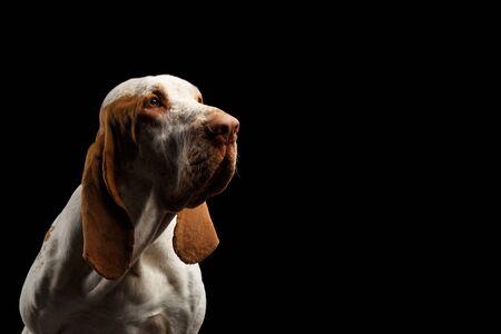 Portrait of Bracco Italiano Pointer Dog Stare at side on Isolated Black Background, profile view Banco de Imagens