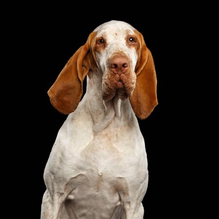 Portrait of Bracco Italiano Pointer Dog with Funny Ears on Isolated Black Background
