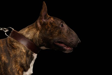 Portrait of Bull Terrier Dog on hold collar on isolated black background, profile view Stok Fotoğraf - 133958772