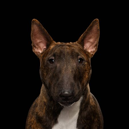 Close-up Portrait of Bull Terrier Dog Gazing on isolated black background, front view