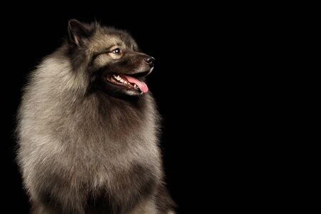 Portrait of Furry Keeshond Dog Looking at Side on isolated black background
