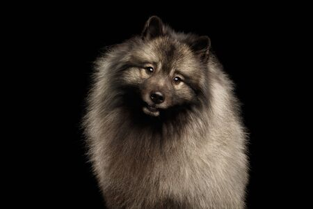 Portrait of Furry Keeshond Dog Curious Looking in Camera with turning head on isolated black background
