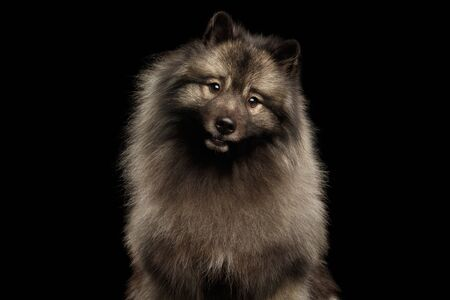 Portrait of Furry Keeshond Dog Curious Looking in Camera with turning head on isolated black background Stok Fotoğraf - 133958783