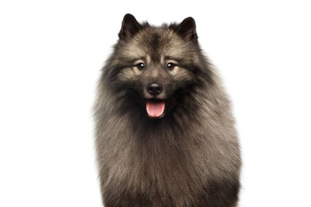 Portrait of Furry Keeshond Dog Looking in Camera on isolated white background Stok Fotoğraf - 133958785