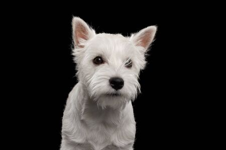 Portrait of Cute West Highland White Terrier Dog on isolated black background Stok Fotoğraf - 133958788