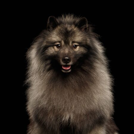 Portrait of Furry Keeshond Dog Looking in Camera on isolated black background Reklamní fotografie