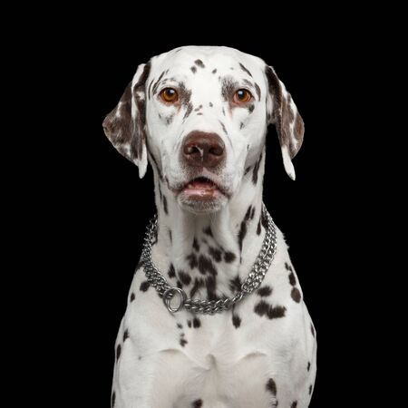 Portrait of Amazement Dalmatian Dog Curious Stare with Humanity eyes on Isolated Black Background 写真素材