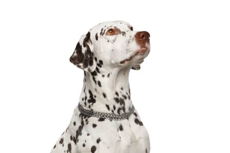 Dalmatian Dog Stare up on Isolated White Background, waiting with attention Stok Fotoğraf - 133958793