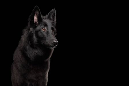 Portrait of Groenendael Belgian Shepherd Dog Curious Stare at side on Isolated Black Background