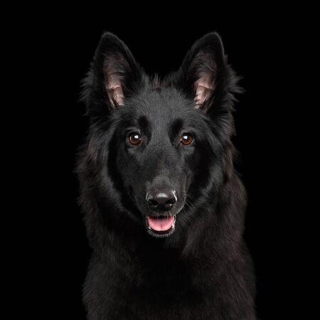Portrait de chien de berger belge Groenendael curieux regardant sur fond noir isolé