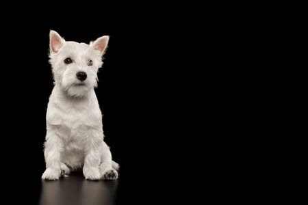 Cute West Highland White Terrier Dog Sitting on isolated black background Stok Fotoğraf - 133958801