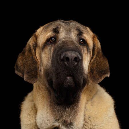 Portrait of Young Spanish Mastiff Dog on isolated Black Background