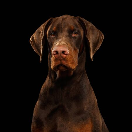 Portrait of Brown Doberman Dog looks Adorable on isolated Black background