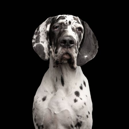 Funny Portrait of Great Dane Dog, white fur, Gazing on Isolated Black Background, studio shot