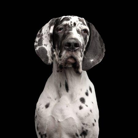 Funny Portrait of Great Dane Dog, white fur, Gazing on Isolated Black Background, studio shot