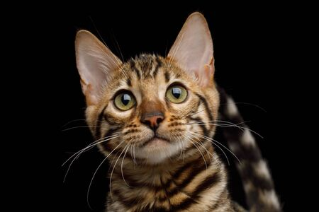Closeup Portrait of Bengal Kitty Looking in Camera on Isolated Black Background