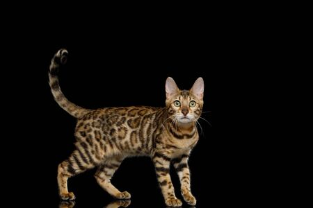 Playful Bengal Cat with gold fur on Isolated Black Background