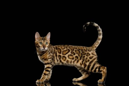 Adorable Bengal Cat Showing his gold fur on Isolated Black Background, side view Banque d'images