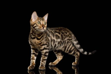Bengal Kitty Standing and Looking back on Isolated Black Background, side view