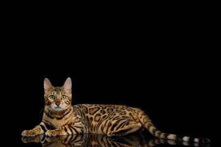 Adorable Bengal Cat Lying on Isolated Black Background, side view Banque d'images