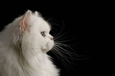 Portrait of British breed Cat White color with Blue eyes, Stare at side on Isolated Black Background, profile view
