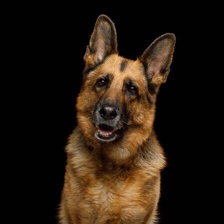 Portrait of Cute German Shepherd Dog Turning head on Isolated Black Background