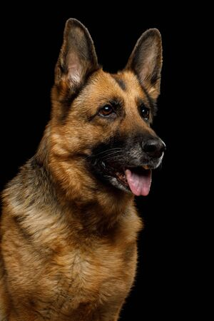 Portrait of Cute German Shepherd Dog Looking Curious on Isolated Black Background, Profile view