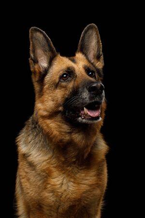 Portrait of Cute German Shepherd Dog Looking Curious on Isolated Black Background 版權商用圖片