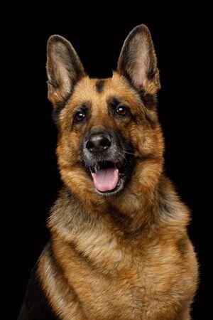 Adoeable Portrait of German Shepherd Dog on Isolated Black Background