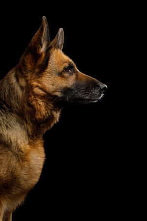 Portrait of German Shepherd Dog in Profile view on Isolated Black Background