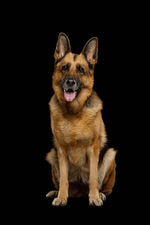 German Shepherd Dog Sitting on Isolated Black Background 版權商用圖片