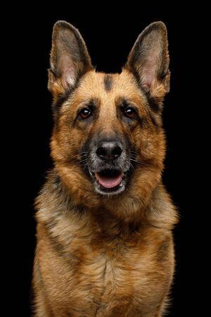 Closeup Portrait of Gazing German Shepherd Dog on Isolated Black Background