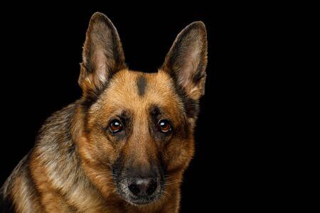 Close-up Portrait of German Shepherd Dog Gazing on Isolated Black Background 版權商用圖片