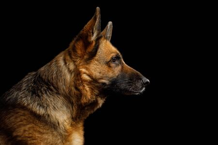 Close-up Portrait of German Shepherd Dog in Profile view on Isolated Black Background