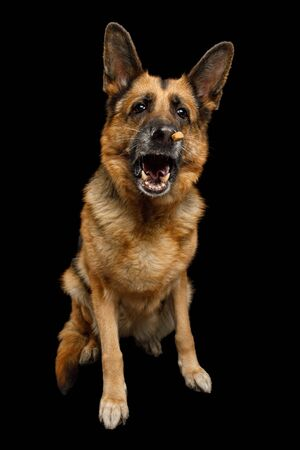 German Shepherd Dog with Funny Face Sitting and Catching treat on Isolated Black Background 版權商用圖片