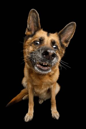Clumsy German Shepherd Dog with Funny Face Sitting on Isolated Black Background