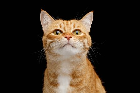 Funny Portrait of Ginger Cat Lookong in Camera on Isolated Black Background, front view 版權商用圖片