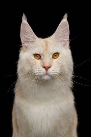Adorable Portrait of Red Maine Coon Cat with Huge Chest Isolated on Black Background