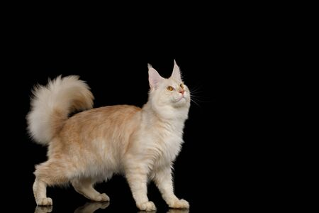 Gorgeous Red Maine Coon Cat Standing and Looking up Isolated on Black Background 版權商用圖片