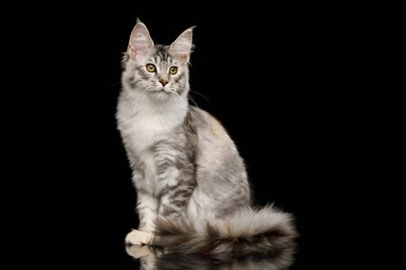 Tabby Maine Coon Cat Sitting with Curious face on Isolated Black Background