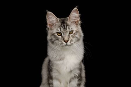 Portrait of Tabby Maine Coon Cat with Brush on ears, Isolated Black Background