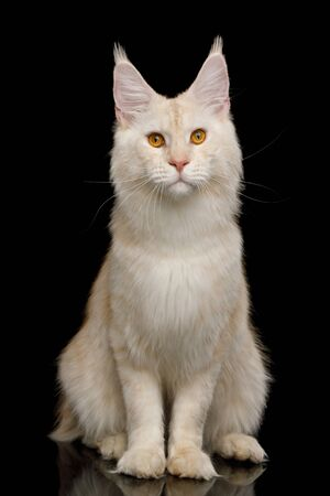 Gorgeous Red Maine Coon Cat Sitting and Looking in Camera Isolated on Black Background 版權商用圖片