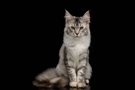 Tabby Maine Coon Cat Sitting and Gazing on Isolated Black Background 版權商用圖片