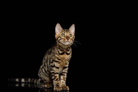 Bengal Kitty Sitting and Looking up on Isolated Black Background