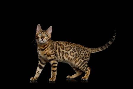 Playful Bengal Cat Walking on Isolated Black Background, side view