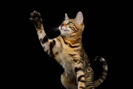 Playful Bengal Cat Sitting and Raising up paw on Isolated Black Background, Front view 版權商用圖片